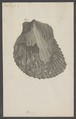 Perna - Print - Iconographia Zoologica - Special Collections University of Amsterdam - UBAINV0274 005 05 0009.tif