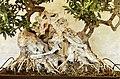 Pescia, museo del bonsai, olea europea, stile kabudachi (a ceppaia), da italia, circa 70 anni 02.jpg