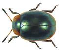 Phaedonia circumcincta ssp. impolita Gerstaecker, 1871 (8267102315).png