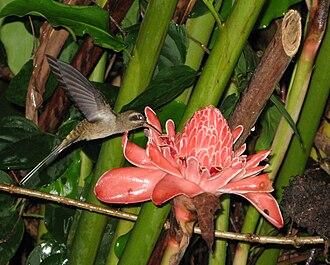 Ornithophily - Hummingbird Phaethornis longirostris on an Etlingera inflorescence