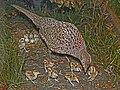 Phasianus colchicus 01.jpg