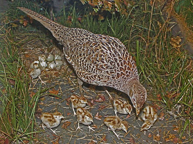 Sliepka bažanta s kuriatkami pred hniezdom