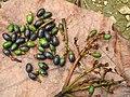 Phoebe cooperiana Fruit (4).jpg