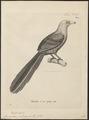 Phoenicophaus calorhynchus - 1700-1880 - Print - Iconographia Zoologica - Special Collections University of Amsterdam - UBA01 IZ18800333.tif