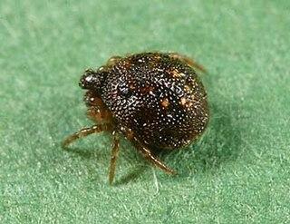 <i>Phoroncidia</i> Genus of spiders
