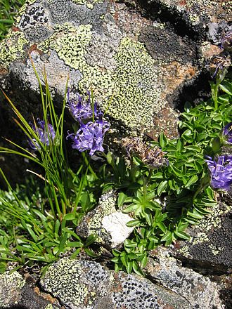 Phyteuma - Phyteuma globulariifolium