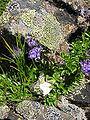 Phyteuma globulariifolium.jpg