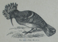 Picture Natural History - No 102 - The Hoopoe.png
