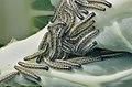 Pieris brassicae caterpillars, groot koolwitjerupsen(3).jpg