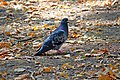 Pigeon in the park, Dnipro, Ukraine; 13 Sep 2019.jpg