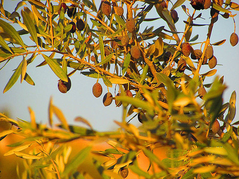 ענף עץ-זית