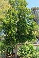 Pimenta racemosa - Marie Selby Botanical Gardens - Sarasota, Florida - DSC01652.jpg