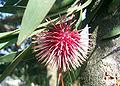 Pincushion hakea02.jpg