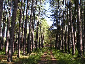 Great Palm Island - Pine plantation on Great Palm Island