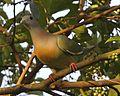 Pink-necked Green-Pigeon (Treron vernans) male - Flickr - Lip Kee (1).jpg