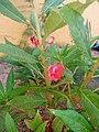 Pinky flower.jpj.jpg