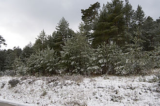 Province of Guadalajara - Snowy pinewoods in the Alto Rey mountains