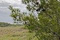 Pinus halepensis, Réserve naturelle régionale de Sainte Lucie 03.jpg