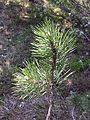 Pinus nigra (subsp. nigra) sl8.jpg