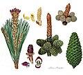 Pinus pinaster3.jpg