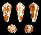 Pionoconus magus f. rollandi 01.JPG