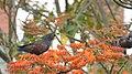 Pionus chalcopterus (Cotorra maicera) (16210184300).jpg