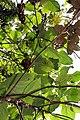 Piper auritum 23zz.jpg
