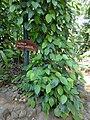 Piper nigrum-Sri Lanka.jpg