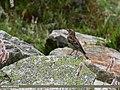 Plain Mountain Finch (Leucosticte nemoricola) (37506783240).jpg