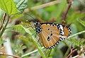Plain tiger from Parambikulam T R (20).jpg