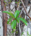 Plant Leaves In Pakistan.png