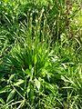 Plantago lanceolata plant1 (14942284372).jpg