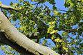 Platane an der Burgeff-Villa Hochheim IMG 6791 06.jpg