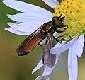 Platycheirus (Pyrophaena) granditarsis - male - Flickr - S. Rae (1).jpg