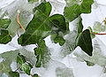 Playing with ice and leaves (hedera helix).JPG