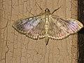 Pleuroptya ruralis - Mother of pearl - Большая крапивная огнёвка (40803414732).jpg