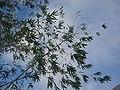 Ploceus cucullatus nests dsc01214.jpg