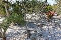 Plumeria obtusa (Plumeria clusioides) - Naples Botanical Garden - Naples, Florida - DSC09998.jpg