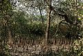 Pneumatophores of Avicennia by Dr. Raju Kasambe DSCN9864 (12).jpg