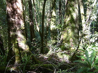 Heaphy Track - The forest west of MacKay hut