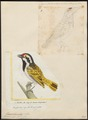 Pogonorhynchus leucomelas - 1700-1880 - Print - Iconographia Zoologica - Special Collections University of Amsterdam - UBA01 IZ18800013.tif