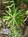 Polygonatum verticillatum sl3.jpg