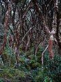 Polylepis forest San Luis (15281393798).jpg