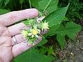 Polymnia Canadensis flowers.JPG