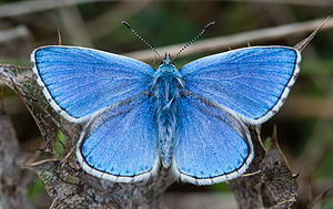 Adonis blue - male, Aveyron, France