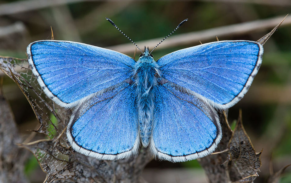 A male Adonis blue (Polyommatus bellargus) butterfly in Foissac, Aveyron, France.