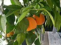 Pomarańcza. Cytrusy. 01.jpg
