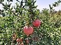 Pomegranate 'Navruz' in Fergana region.jpg