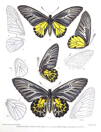 Troides aeacus - As Pompeoptera aeacus in Robert Henry Fernando Rippon's Icones Ornithopterorum (1898 to 1906)
