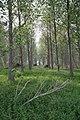 Poplar plantation - geograph.org.uk - 801534.jpg